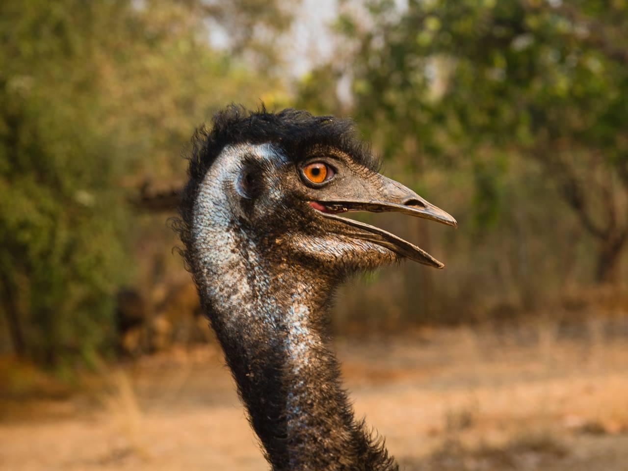 Emu Farm Saguna Baug